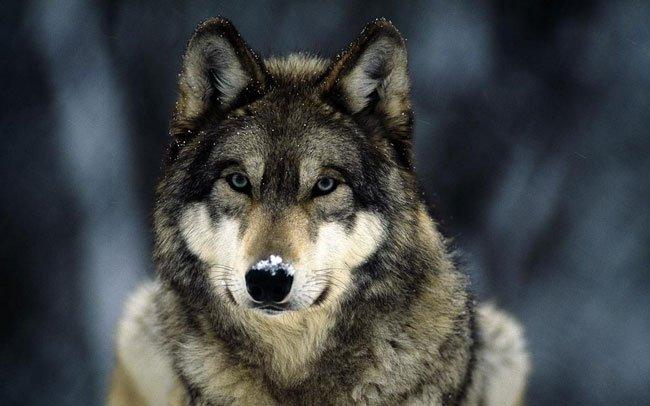 Сказка про волка